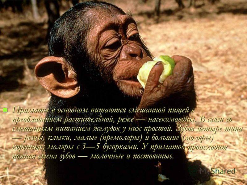 Приматы в основном питаются смешанной пищей с преобладанием растительной, реже насекомоядны. В связи со смешанным питанием желудок у них простой. Зубов четыре типа резцы, клыки, малые (премоляры) и большие (моляры) коренные; моляры с 35 бугорками. У