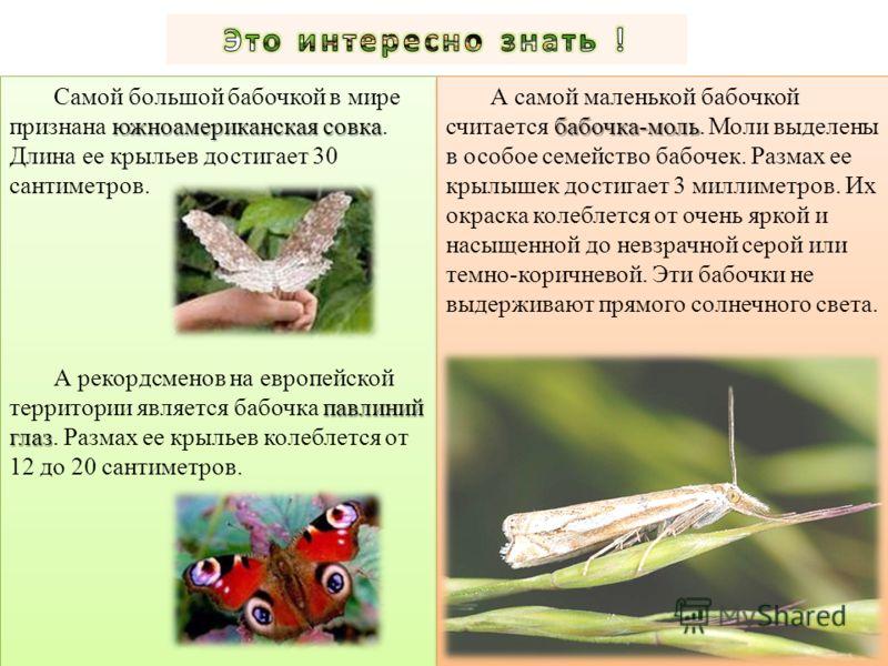 южноамериканская совка Самой большой бабочкой в мире признана южноамериканская совка. Длина ее крыльев достигает 30 сантиметров. павлиний глаз А рекордсменов на европейской территории является бабочка павлиний глаз. Размах ее крыльев колеблется от 12