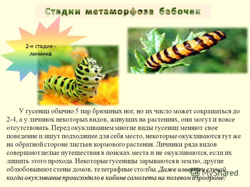 Даже известен случай, когда окукливание происходило в кабине самолета на полевом аэродроме! У гусениц обычно 5 пар брюшных ног, но их число может сокращаться до 2-4, а у личинок некоторых видов, живущих на растениях, они могут и вовсе отсутствовать.
