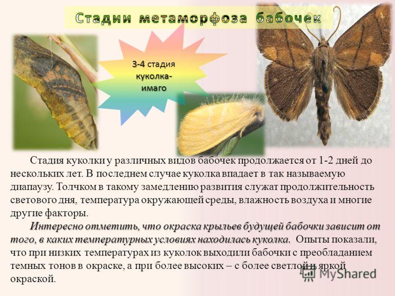 Стадия куколки у различных видов бабочек продолжается от 1-2 дней до нескольких лет. В последнем случае куколка впадает в так называемую диапаузу. Толчком в такому замедлению развития служат продолжительность светового дня, температура окружающей сре