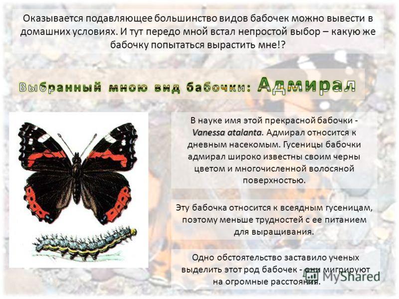 Одно обстоятельство заставило ученых выделить этот род бабочек - они мигрируют на огромные расстояния. Vanessa atalanta В науке имя этой прекрасной бабочки - Vanessa atalanta. Адмирал относится к дневным насекомым. Гусеницы бабочки адмирал широко изв