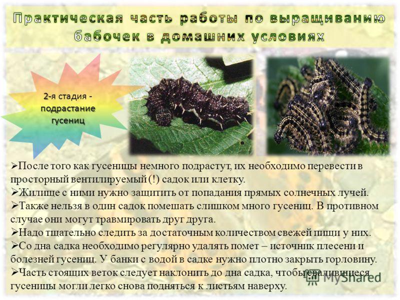 После того как гусеницы немного подрастут, их необходимо перевести в просторный вентилируемый (!) садок или клетку. Жилище с ними нужно защитить от попадания прямых солнечных лучей. Также нельзя в один садок помешать слишком много гусениц. В противно