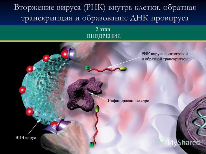 Вторжение вируса (РНК) внутрь клетки, обратная транскрипция и образование ДНК провируса