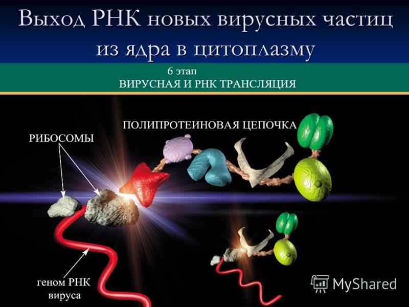 Выход РНК новых вирусных частиц из ядра в цитоплазму