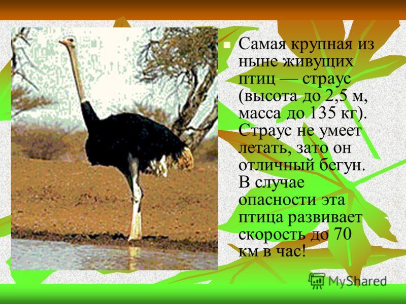 Самая крупная из ныне живущих птиц страус (высота до 2,5 м, масса до 135 кг). Страус не умеет летать, зато он отличный бегун. В случае опасности эта птица развивает скорость до 70 км в час!
