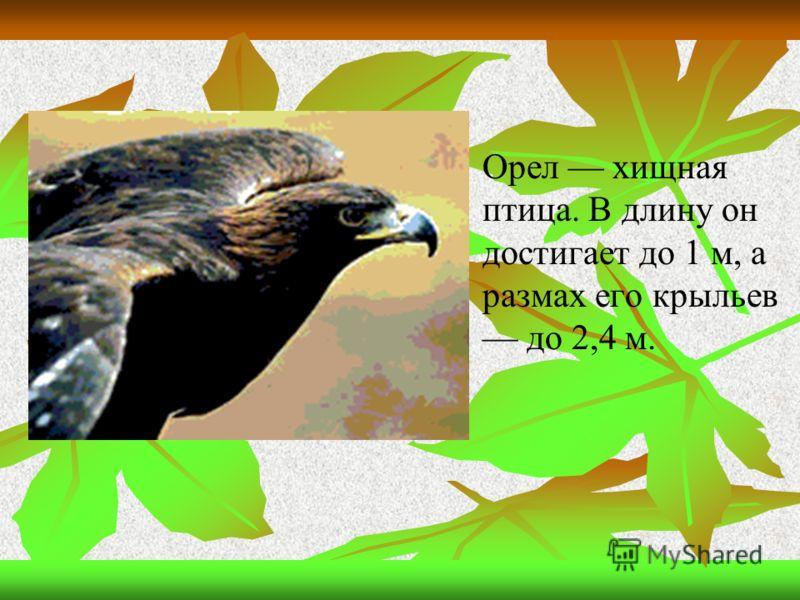 Орел хищная птица. В длину он достигает до 1 м, а размах его крыльев до 2,4 м.
