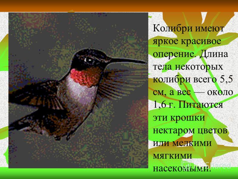 Колибри имеют яркое красивое оперение. Длина тела некоторых колибри всего 5,5 см, а вес около 1,6 г. Питаются эти крошки нектаром цветов или мелкими мягкими насекомыми.