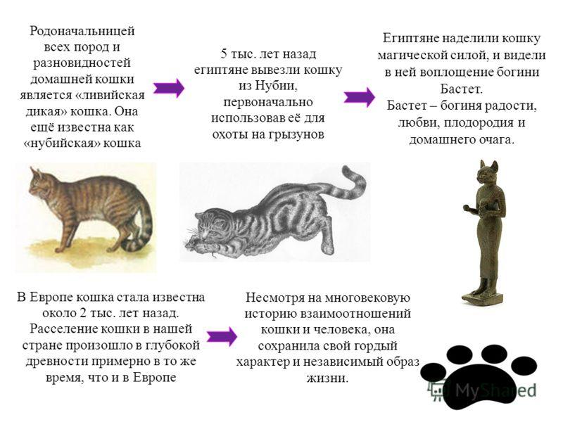 Родоначальницей всех пород и разновидностей домашней кошки является «ливийская дикая» кошка. Она ещё известна как «нубийская» кошка 5 тыс. лет назад египтяне вывезли кошку из Нубии, первоначально использовав её для охоты на грызунов Египтяне наделили