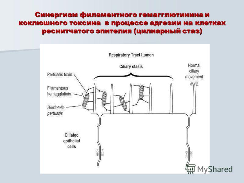 Синергизм филаментного гемагглютинина и коклюшного токсина в процессе адгезии на клетках реснитчатого эпителия (цилиарный стаз)