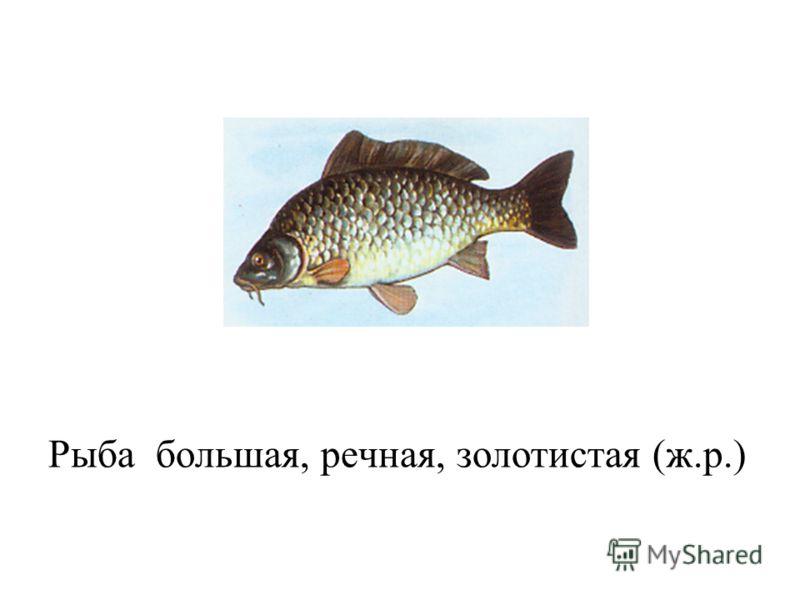 Рыба большая, речная, золотистая (ж.р.)