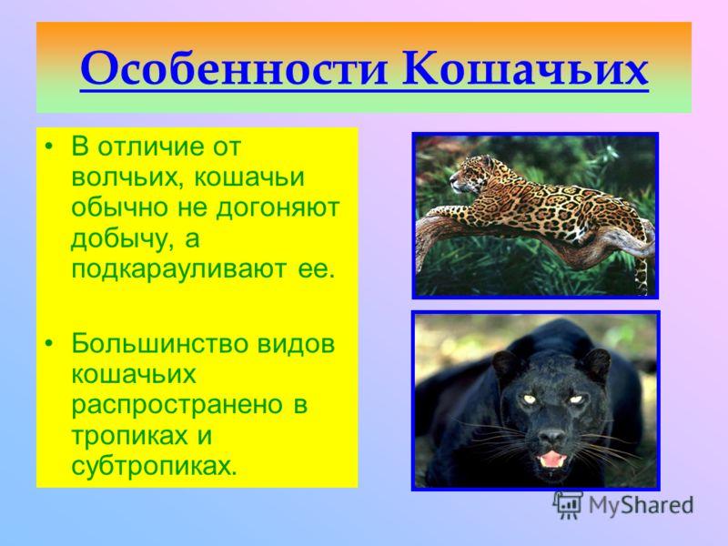 Семейство Кошачьи включает животных средних и крупных размеров с удлиненными конечностями и втягивающимися когтями.