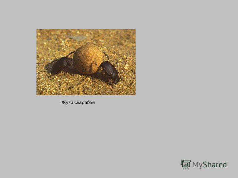 Жуки-скарабеи