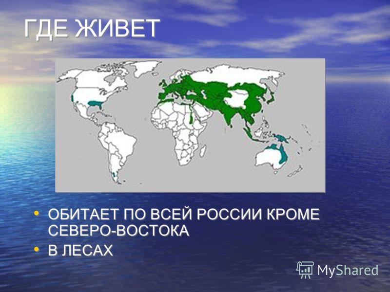 ГДЕ ЖИВЕТ ОБИТАЕТ ПО ВСЕЙ РОССИИ КРОМЕ СЕВЕРО-ВОСТОКА В ЛЕСАХ ОБИТАЕТ ПО ВСЕЙ РОССИИ КРОМЕ СЕВЕРО-ВОСТОКА В ЛЕСАХ