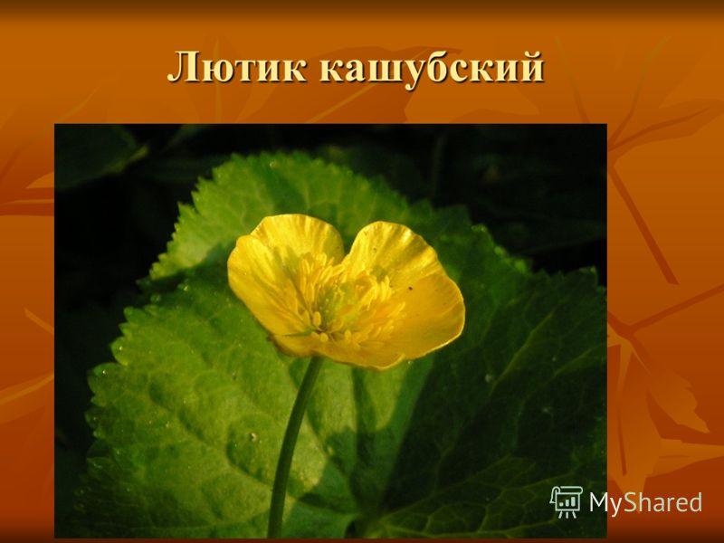 Лютик кашубский