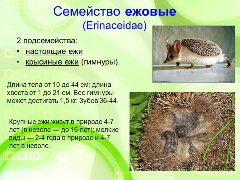 Семейство ежовые (Erinaceidae) 2 подсемейства: настоящие ежи крысиные ежи (гимнуры). Длина тела от 10 до 44 см; длина хвоста от 1 до 21 см. Вес гимнуры может достигать 1,5 кг. Зубов 36-44. Крупные ежи живут в природе 4-7 лет (в неволе до 16 лет); мел