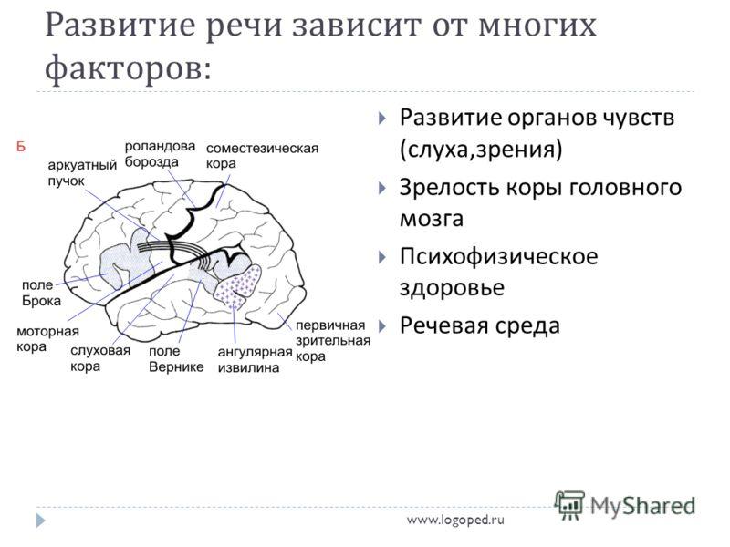 Развитие речи зависит от многих факторов : Развитие органов чувств ( слуха, зрения ) Зрелость коры головного мозга Психофизическое здоровье Речевая среда www.logoped.ru