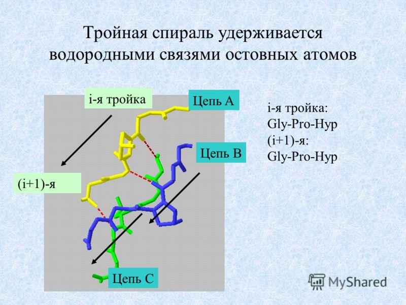 Тройная спираль удерживается водородными связями остовных атомов Цепь A Цепь C Цепь B i-я тройка (i+1)-я i-я тройка: Gly-Pro-Hyp (i+1)-я: Gly-Pro-Hyp
