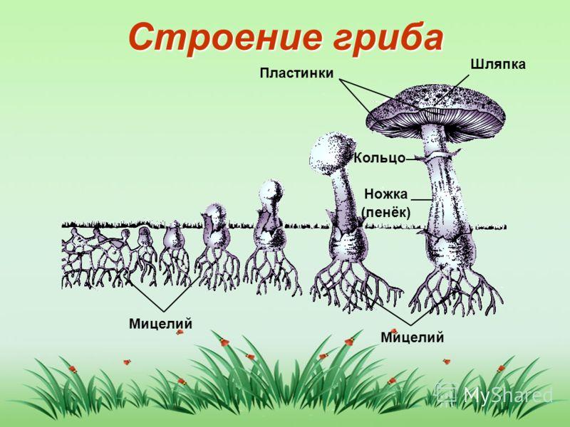 Строение гриба Мицелий Ножка (пенёк) Кольцо Пластинки Шляпка