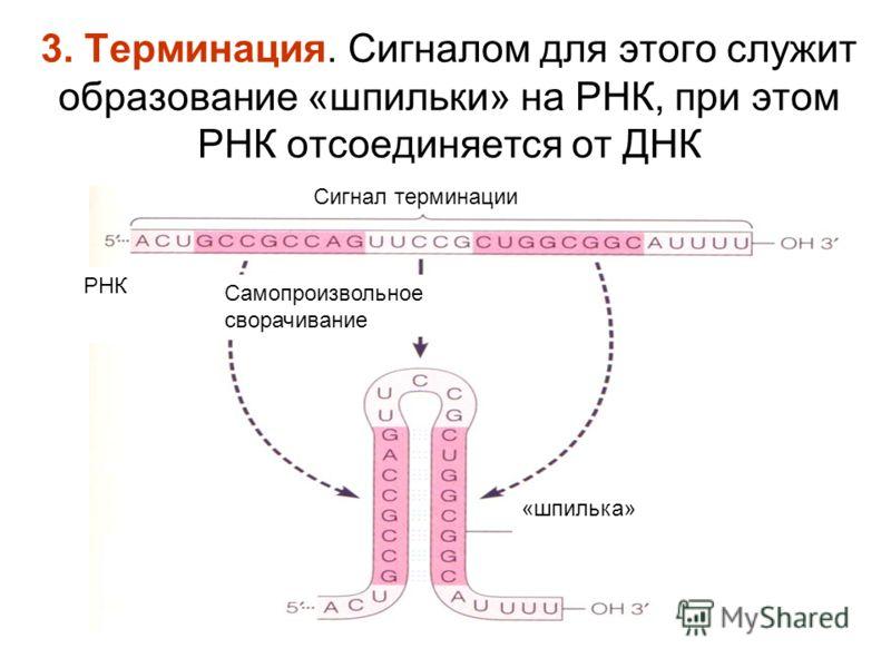 3. Терминация. Сигналом для этого служит образование «шпильки» на РНК, при этом РНК отсоединяется от ДНК РНК Сигнал терминации Самопроизвольное сворачивание «шпилька»