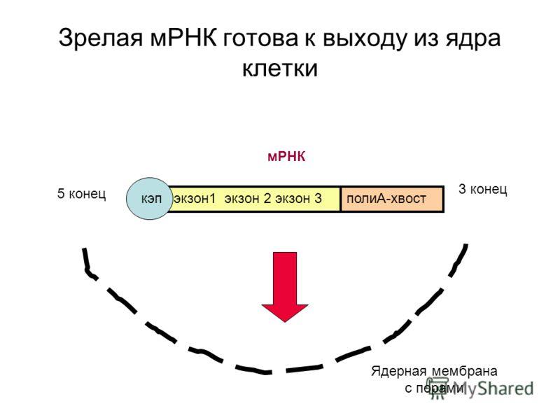 Зрелая мРНК готова к выходу из ядра клетки экзон1 экзон 2 экзон 3полиА-хвост 5 конец 3 конец Ядерная мембрана с порами мРНК кэп