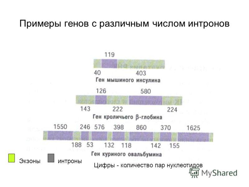 Экзоны интроны Примеры генов с различным числом интронов Цифры - количество пар нуклеотидов