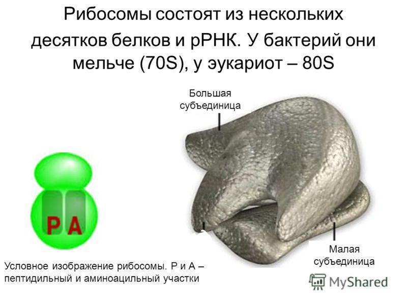 Рибосомы состоят из нескольких десятков белков и рРНК. У бактерий они мельче (70S), у эукариот – 80S Большая субъединица Малая субъединица Условное изображение рибосомы. Р и А – пептидильный и аминоацильный участки