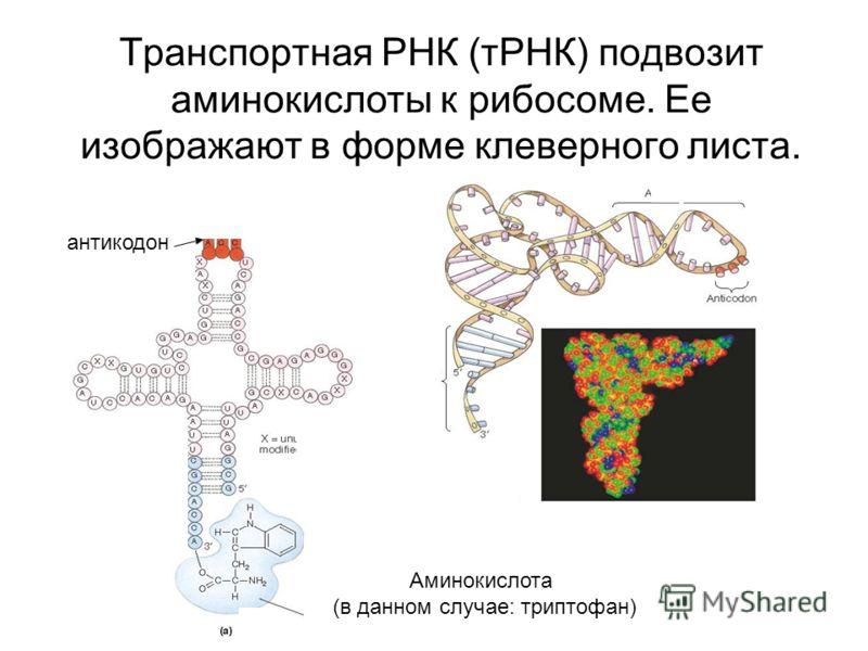 Транспортная РНК (тРНК) подвозит аминокислоты к рибосоме. Ее изображают в форме клеверного листа. антикодон Аминокислота (в данном случае: триптофан)