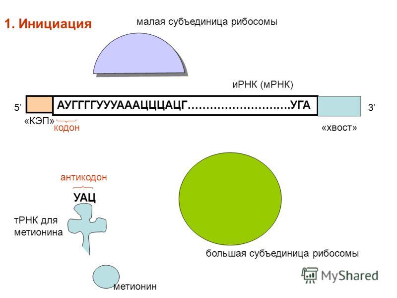 АУГГГГУУУАААЦЦЦАЦГ……………………….УГА «КЭП» метионин тРНК для метионина 53 иРНК (мРНК) малая субъединица рибосомы большая субъединица рибосомы УАЦ кодон антикодон 1. Инициация «хвост»