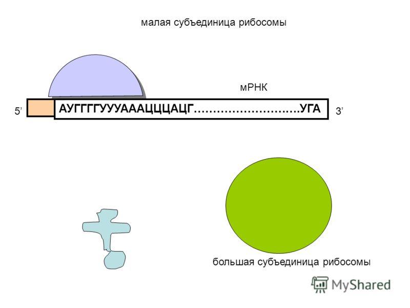 АУГГГГУУУАААЦЦЦАЦГ……………………….УГА 53 мРНК малая субъединица рибосомы большая субъединица рибосомы