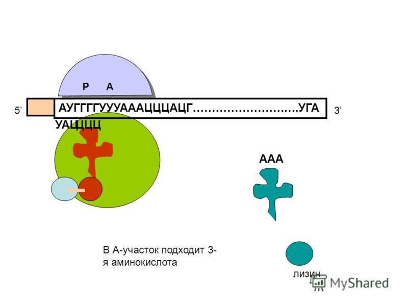 АУГГГГУУУАААЦЦЦАЦГ……………………….УГА 53 УАЦЦЦЦ ААА лизин В А-участок подходит 3- я аминокислота РА