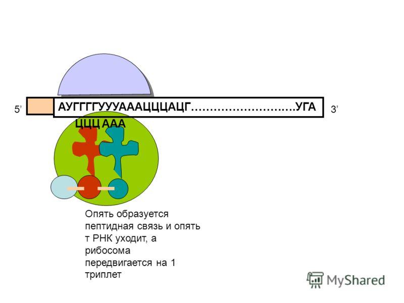 АУГГГГУУУАААЦЦЦАЦГ……………………….УГА 53 ЦЦЦ Опять образуется пептидная связь и опять т РНК уходит, а рибосома передвигается на 1 триплет ААА