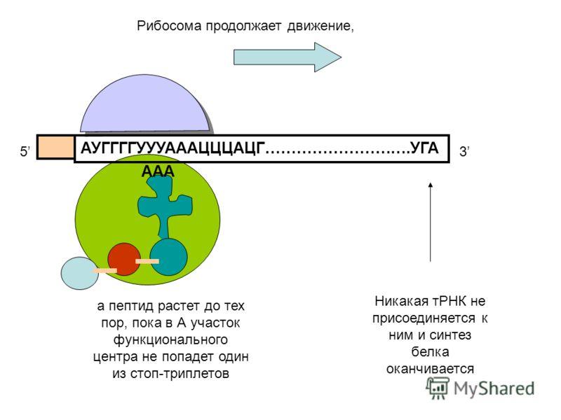 АУГГГГУУУАААЦЦЦАЦГ……………………….УГА 53 а пептид растет до тех пор, пока в А участок функционального центра не попадет один из стоп-триплетов ААА Никакая тРНК не присоединяется к ним и синтез белка оканчивается Рибосома продолжает движение,