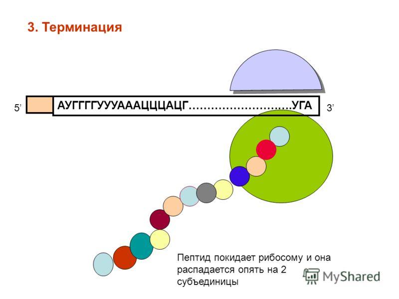 АУГГГГУУУАААЦЦЦАЦГ……………………….УГА 53 Пептид покидает рибосому и она распадается опять на 2 субъединицы 3. Терминация
