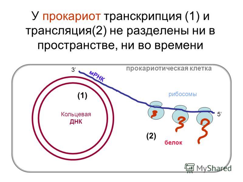 У прокариот транскрипция (1) и трансляция(2) не разделены ни в пространстве, ни во времени прокариотическая клетка Кольцевая ДНК мРНК рибосомы белок 5 3 (1) (2)