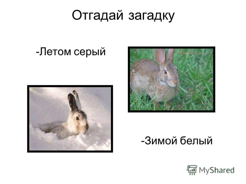 Отгадай загадку -Летом серый -Зимой белый