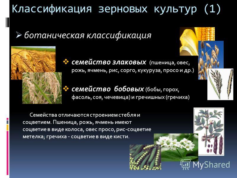Классификация зерновых культур (1) ботаническая классификация семейство злаковых (пшеница, овес, рожь, ячмень, рис, сорго, кукуруза, просо и др.) семейство бобовых (бобы, горох, фасоль, соя, чечевица) и гречишных (гречиха) Семейства отличаются строен