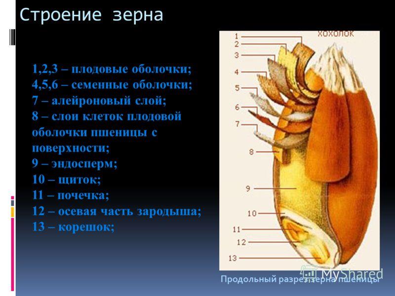Строение зерна 1,2,3 – плодовые оболочки; 4,5,6 – семенные оболочки; 7 – алейроновый слой; 8 – слои клеток плодовой оболочки пшеницы с поверхности; 9 – эндосперм; 10 – щиток; 11 – почечка; 12 – осевая часть зародыша; 13 – корешок; Продольный разрез з