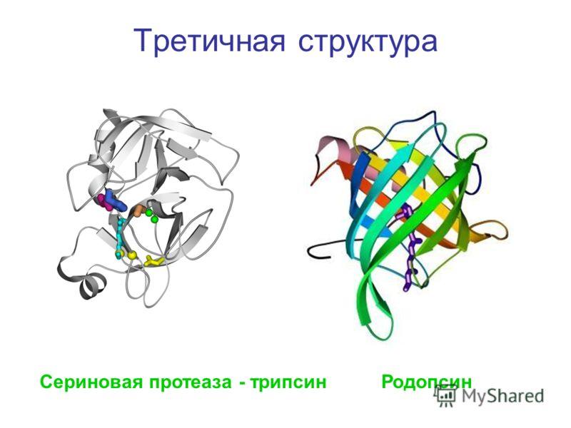 Третичная структура Сериновая протеаза - трипсинРодопсин