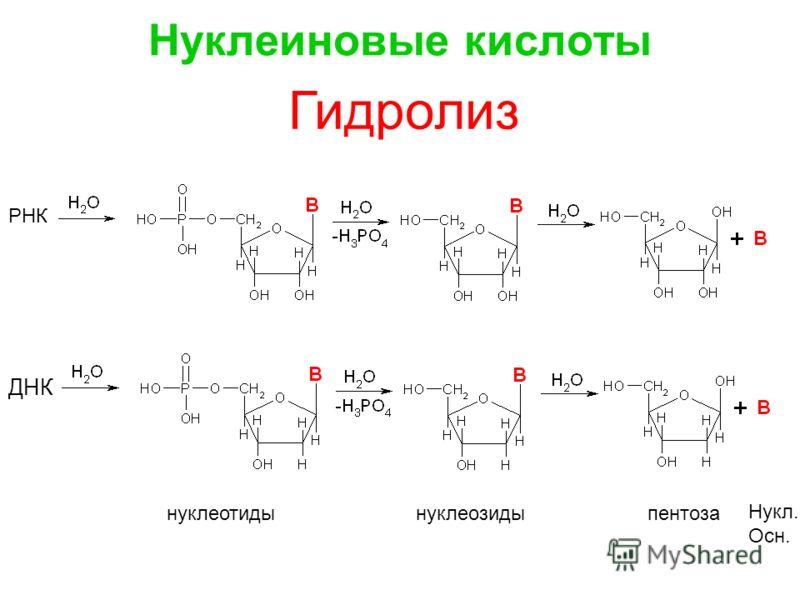 РНК ДНК нуклеотиды нуклеозиды пентоза Нукл. Осн. Гидролиз