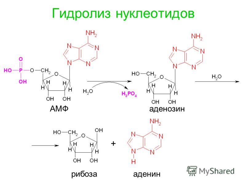 Гидролиз нуклеотидов АМФаденозин рибозааденин