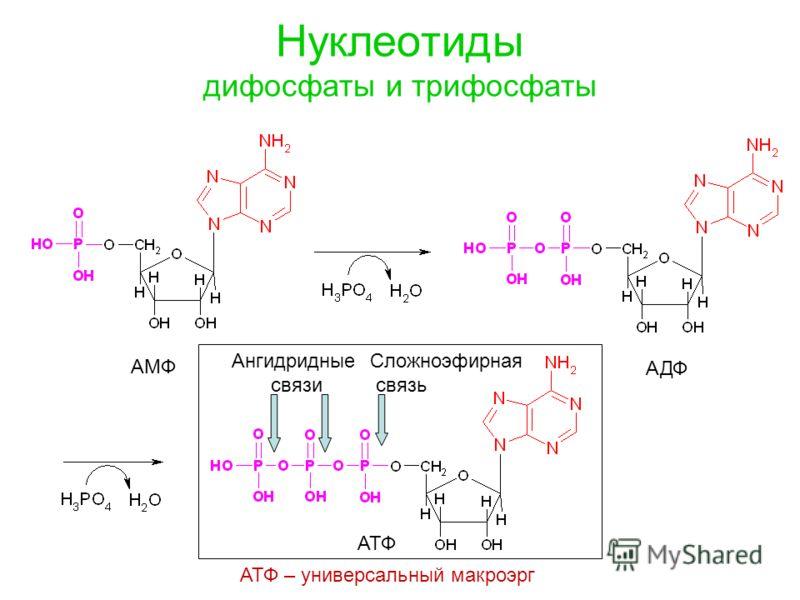 Нуклеотиды дифосфаты и трифосфаты АМФ АДФ АТФ Ангидридные связи Сложноэфирная связь АТФ – универсальный макроэрг