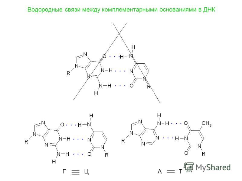 Водородные связи между комплементарными основаниями в ДНК Г ЦА Т