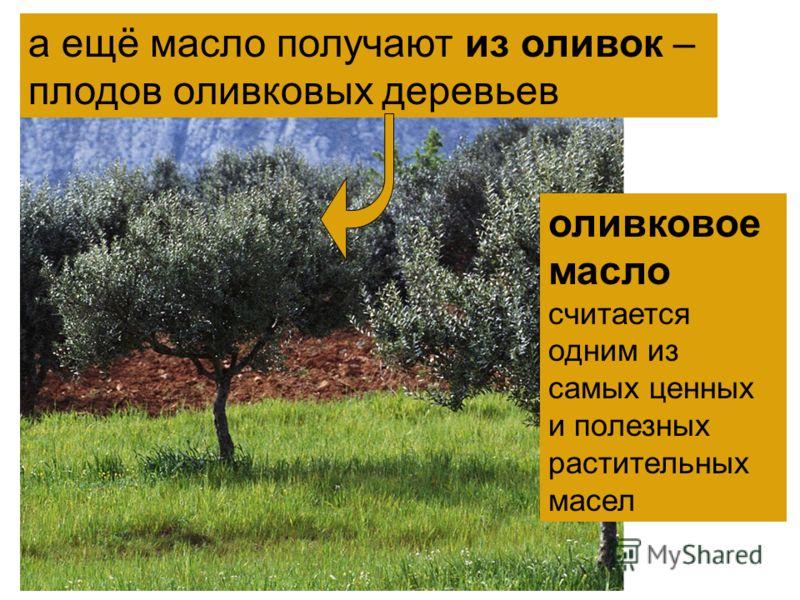 оливковое масло считается одним из самых ценных и полезных растительных масел а ещё масло получают из оливок – плодов оливковых деревьев
