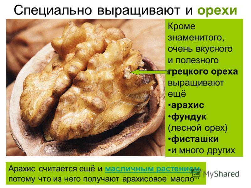 Специально выращивают и орехи Кроме знаменитого, очень вкусного и полезного грецкого ореха выращивают ещё арахис фундук (лесной орех) фисташки и много других Арахис считается ещё и масличным растением,масличным растением потому что из него получают а