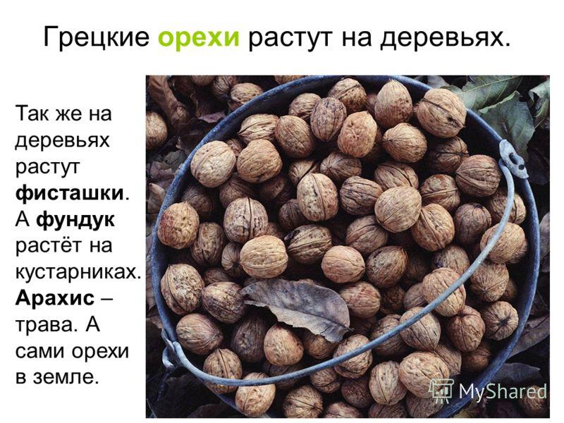 Грецкие орехи растут на деревьях. Так же на деревьях растут фисташки. А фундук растёт на кустарниках. Арахис – трава. А сами орехи в земле.