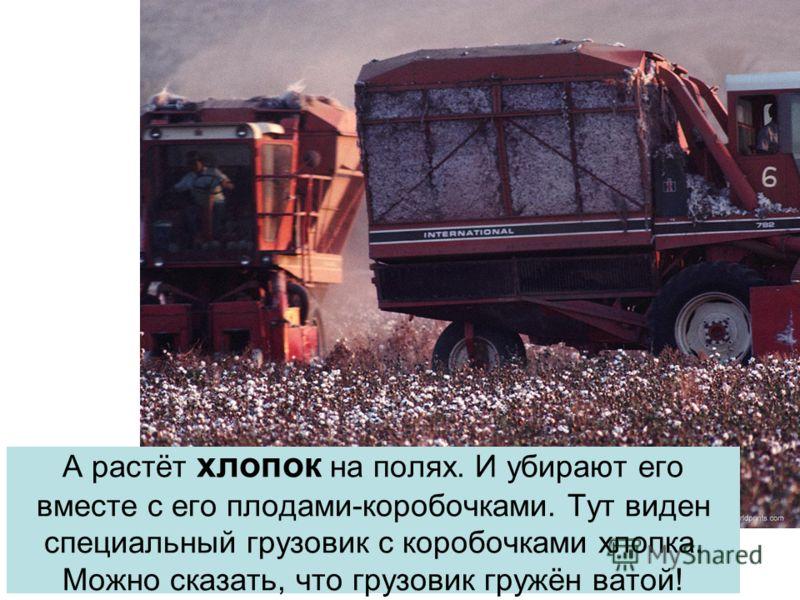 А растёт хлопок на полях. И убирают его вместе с его плодами-коробочками. Тут виден специальный грузовик с коробочками хлопка. Можно сказать, что грузовик гружён ватой!