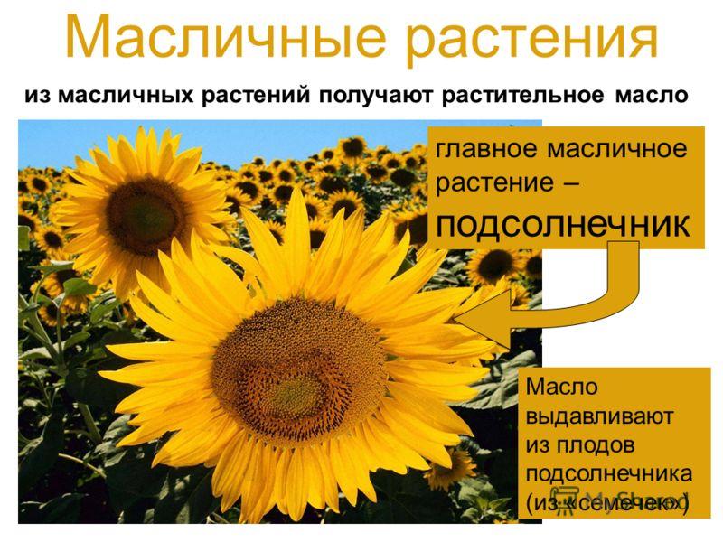 Масличные растения из масличных растений получают растительное масло главное масличное растение – подсолнечник Масло выдавливают из плодов подсолнечника (из «семечек»)