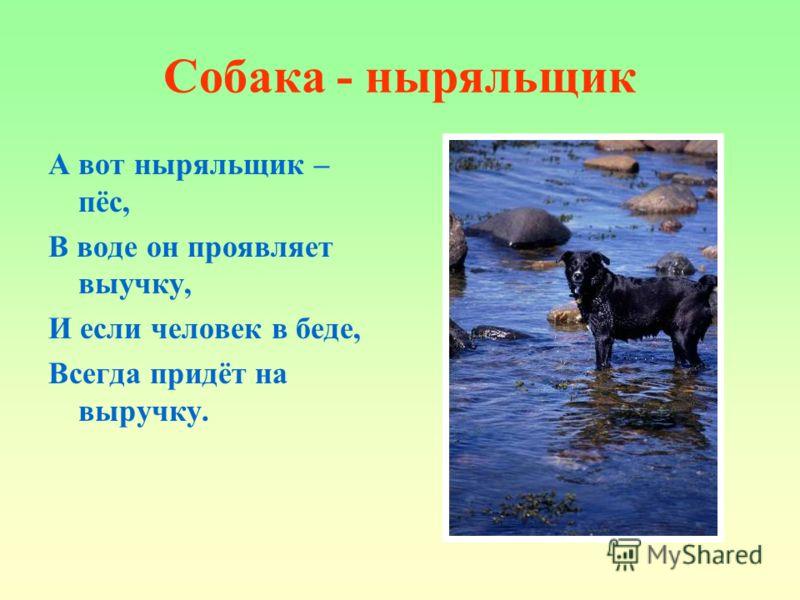 Собака - ныряльщик А вот ныряльщик – пёс, В воде он проявляет выучку, И если человек в беде, Всегда придёт на выручку.