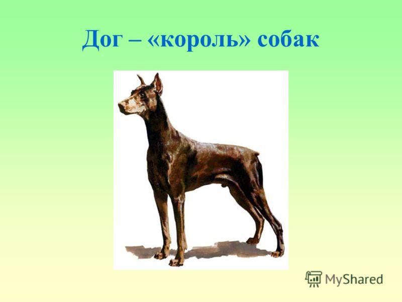 Дог – «король» собак