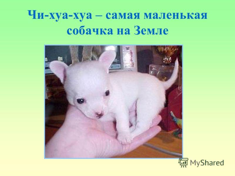 Чи-хуа-хуа – самая маленькая собачка на Земле